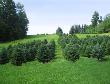 Christmas Trees - Halls Tree Farm